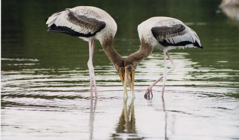 painted storks at kokkare bellur