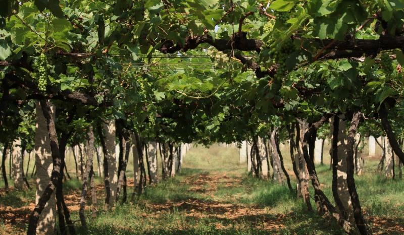 vineyards, ramanagara