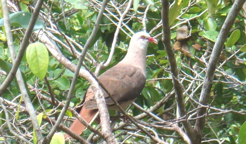 pink pigeon, ile aux aigrettes