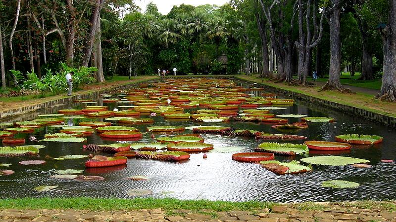 water lily pond, pamplemousses