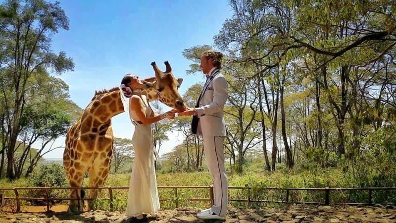 their wedding in the giraffe center in nairobi, with a giraffe as their sole guest