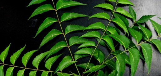 neem leaves_New_Love_Times