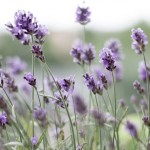The Very Best Benefits Of Lavender And Lavender Oil For Your Skin And Hair