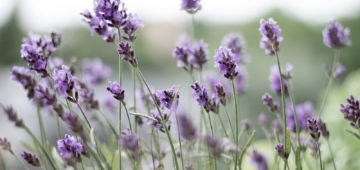 lavender_New_Love_Times