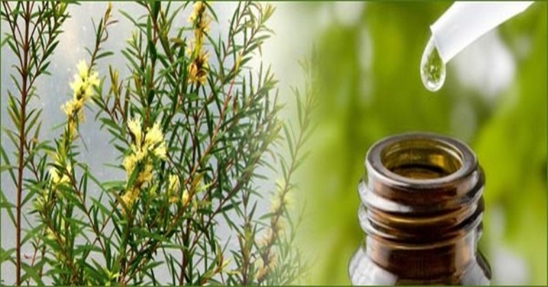 tea tree oil_New_Love_Times