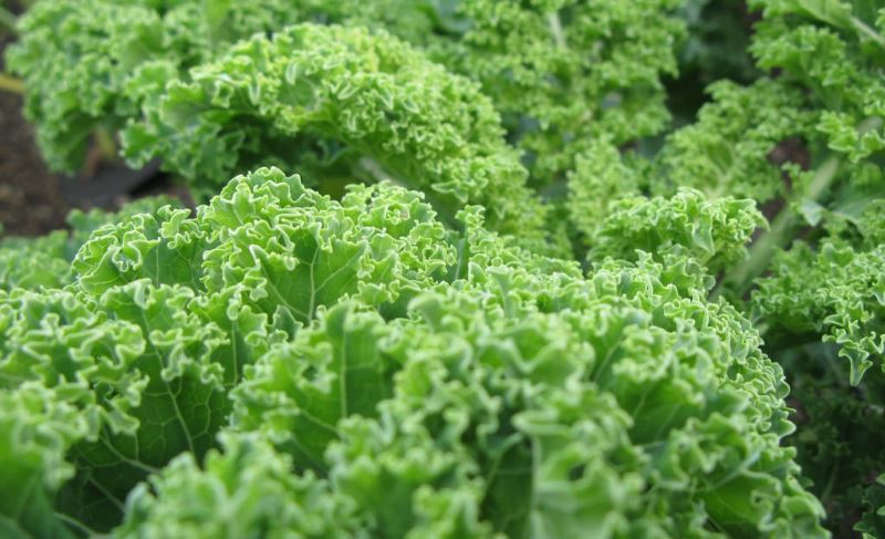 health benefits of kale_New_Love_Times