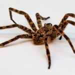 how to get rid of spiders outside home remedies