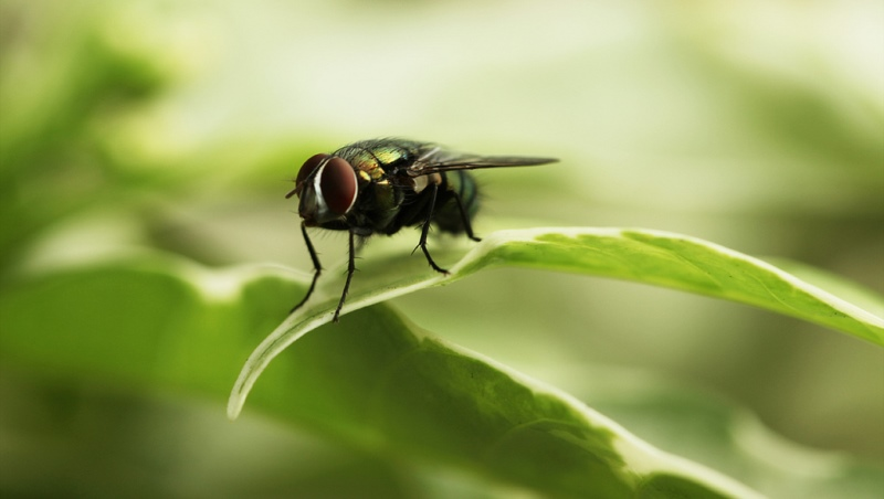 home remedies for flies_New_Love_Times