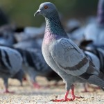 Here Are The Top Home Remedies To Get Rid Of Pigeons