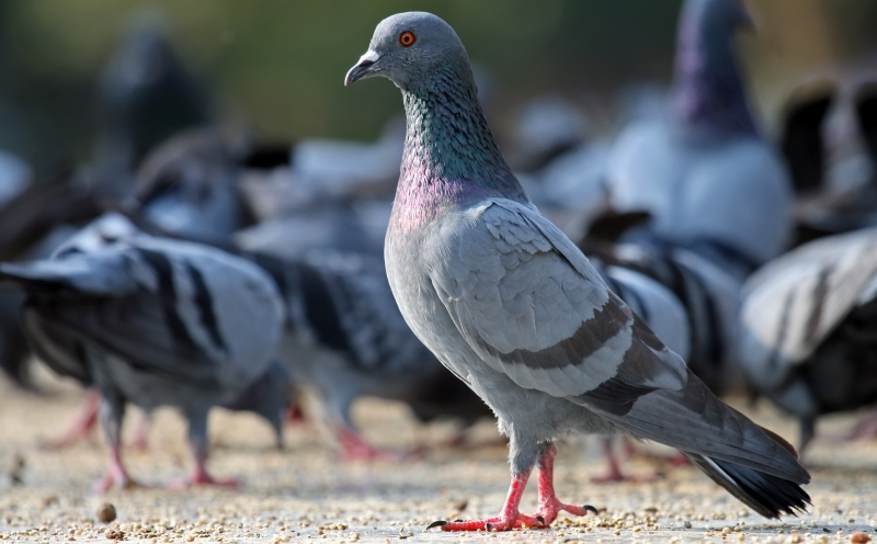 home remedies pigeon_New_Love_Times
