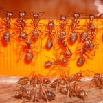 10 Super Effective Home Remedies To Get Rid Of Red Ants Successfully