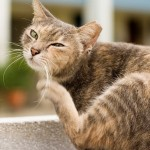 Treat Fleas On Your Cat With These Completely Safe And Natural Home Remedies