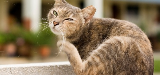 home remedies for fleas on cats_new_love_times