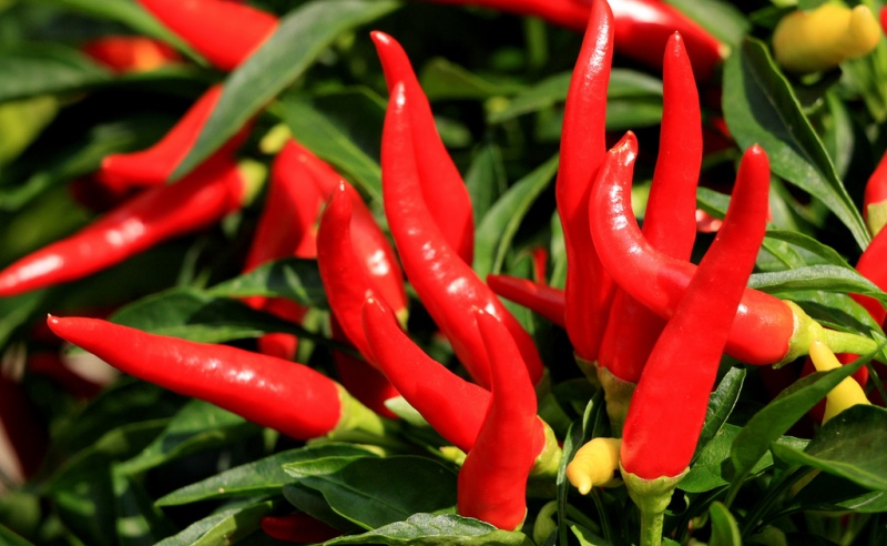 cayenne pepper_New_Love_Times